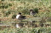 Yellow-billed Teal (Anas flavirostris) - Peru