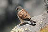 Common Kestrel (Falco tinnunculus) - Canary Islands