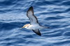 Cory's Shearwater (Calonectris borealis) - Canary Islands